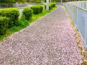 和泉市の桜